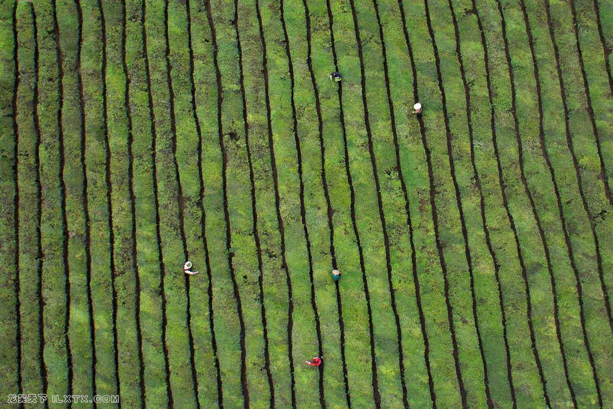 浙江东阳,工人在茶叶种植园采摘茶叶 - 20150325